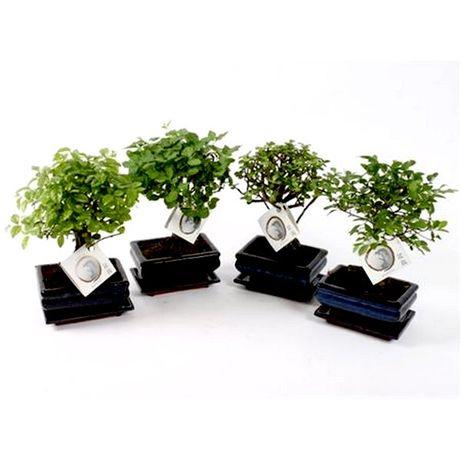 Орхидеи Бонсаи - Растения для озеленения, оформления, фито-дизайна опт