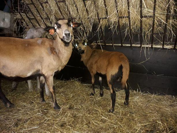 Jagnięta owce kameruńskie
