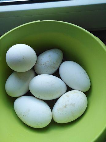 Gęsie jajka sprzedam