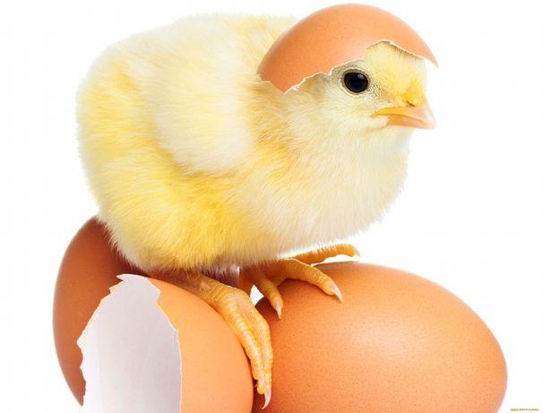 Інкубаційне яйце кобб 500 Чехія