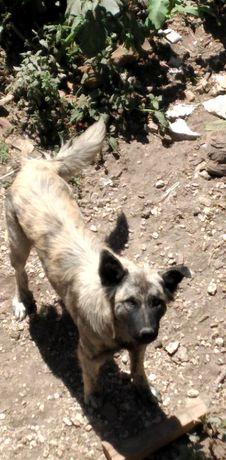 cão arraçado Serra da Estrela