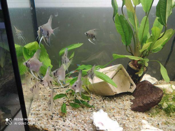 Ryby na sprzedaż _skalary
