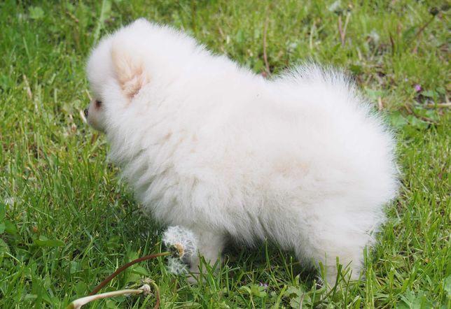 *Pomeranian typ Misia Piesek komplet szczepień z Rodowodem Aktualne*
