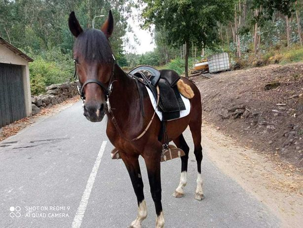 Cavalo trotador francês