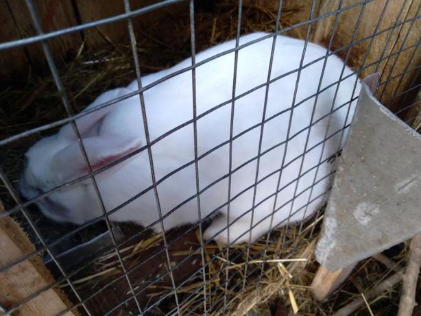 Кролик  кітна самка, крілиха, крілиця  термонка 6 міс.