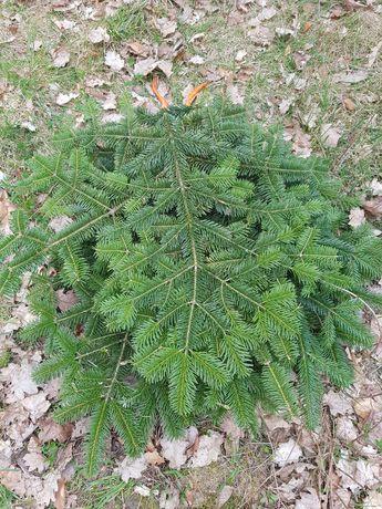 Gałęzie jodła kaukaska 5 kg cena 21 zł z Dostawą Świeża