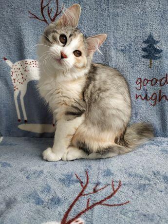Котенок девочка 3 месяца курильский бобтейл, родословная, прививки