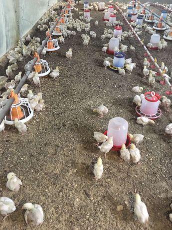 Цыплята бройлер КОББ-500 подрощенные.