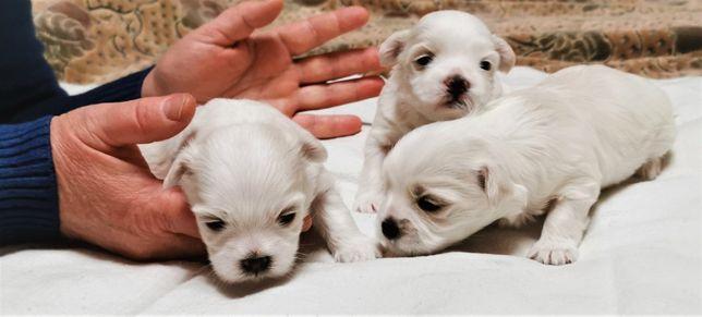 Самые лучшие щенки мальтезе, лучший подарок к НОВОМУ ГОДУ!