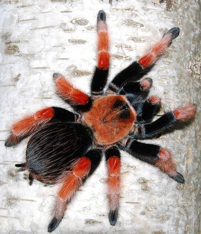 Brachypelma boehmei самка паука птицееда для новичков