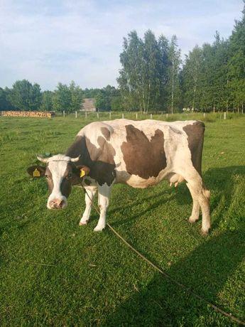 Продам породистую корову первотелку