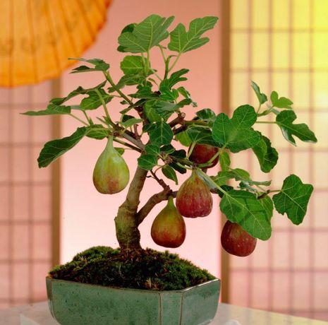 Инжир Серый ранний - самоплодный, сладкий, ароматный, два урожая в год
