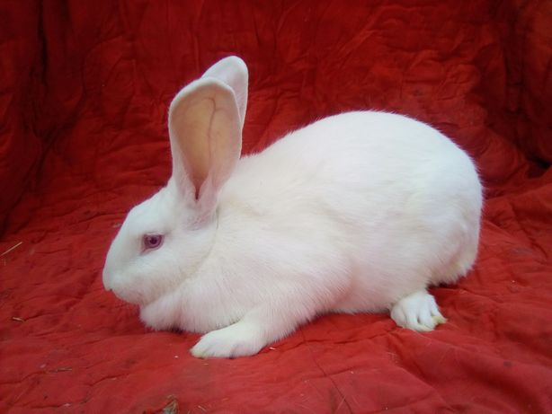 Белый термондец,молодняк от 1,5 мес.