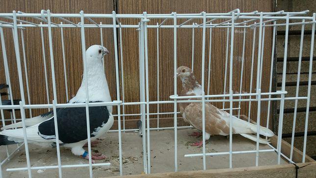 Gołębie rysie, texaner, Orlik, garbinos, staropolski