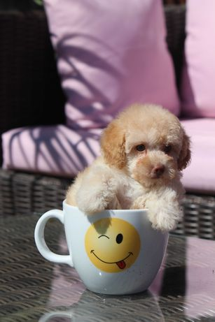 Toy Pudel Apricot Sunia Apricot Toy Poodle