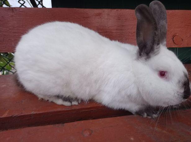 Кролі ( Кролики ) Каліфорнійської породи та Французького барана