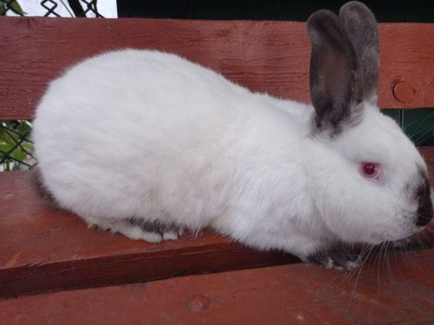 Кролі ( Кролики ) Каліфорнійської породи ( Каліфорнія )