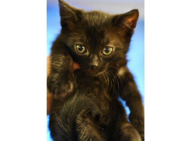 Миленькая Марфа 1,5 мес кошечка, котенок ищет дом