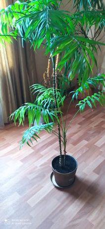 Комнатные цветы пальма
