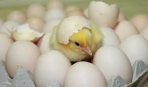 яйца для инкубации от птицефабрики