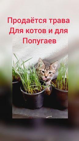 Продам зелёную траву для кошек и попугаёв в горшках