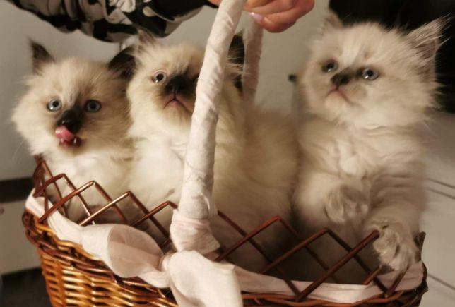 Sprzedam kotki Syberyjskie Neva Masquarade. Rodowód. Rezerwacja