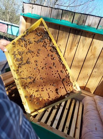 Матки Карпатка Плодные пчеломатки