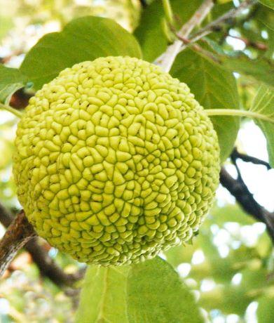 Маклюра адамово яблоко крупные плоды Киев