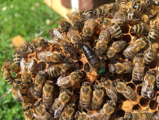 Матка Запліднена - Пчеломатки пчел - Carpatica (Карпатка) Снижение цен