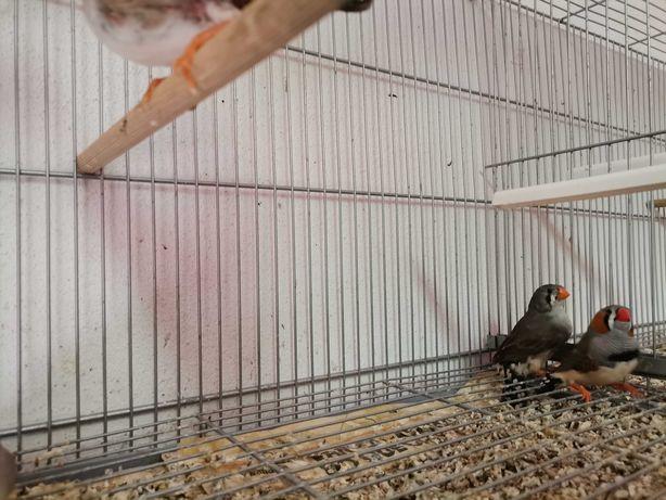 Aves para ceder, desistência