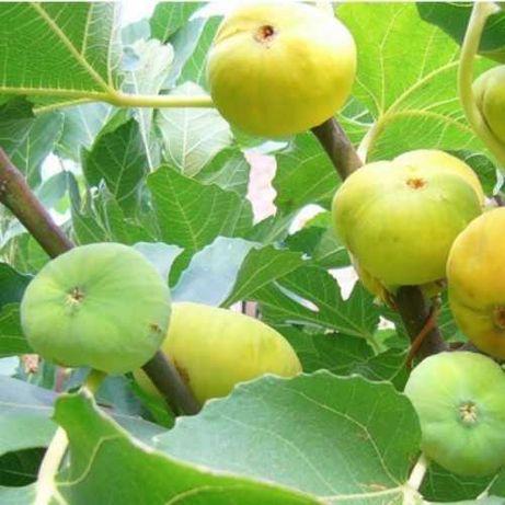 Инжир Медовый -  солнечно-янтарные плоды с сахарной розовой мякотью.