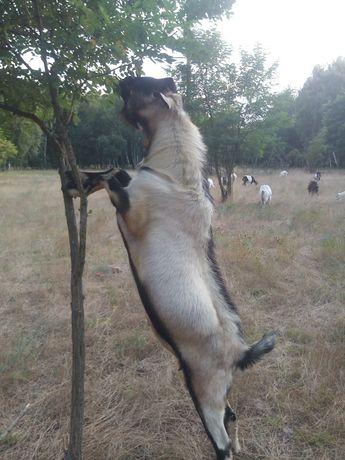 Козынята,козочьки,козлики,козы,козлы,цапы