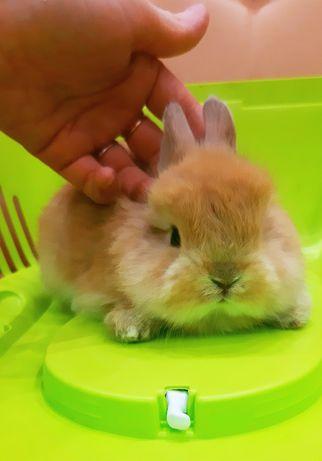 Карликовые миниатюрные  декорат.торчеухие и вислоухие  мини кролики
