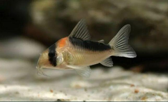 Kirys kirysek duplicareus.  Z hodowli, zdrowe i zadbane ryby.