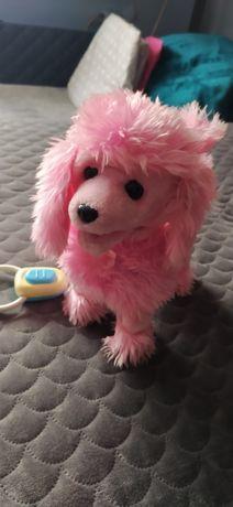 Piesek, pudel różowy na smyczy. Chodzi, szczeka.