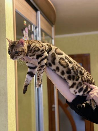 Яркий бенгальский котик