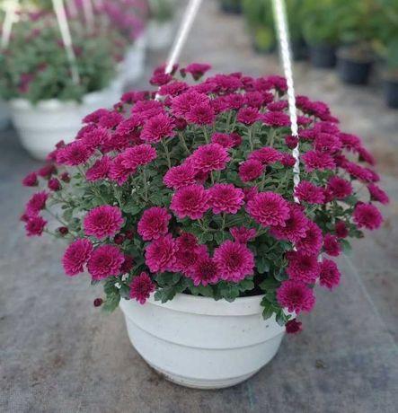 Ампельная хризантема, мульти-, средне-, крупноцветковая (опт, розн)