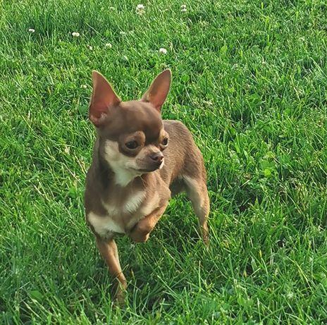 Chihuahua maleńki kawaler
