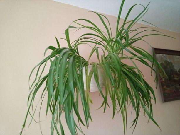Kwiatek domowy Zielistka, Trawka,wysyłka
