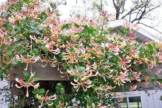Жимолость цветковая