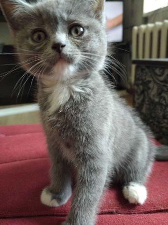 Котенок британской породы (осталась одна кошечка)