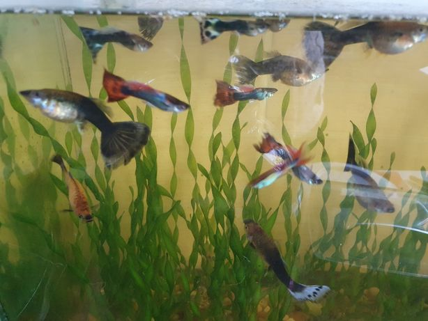 Рыбки гуппи.