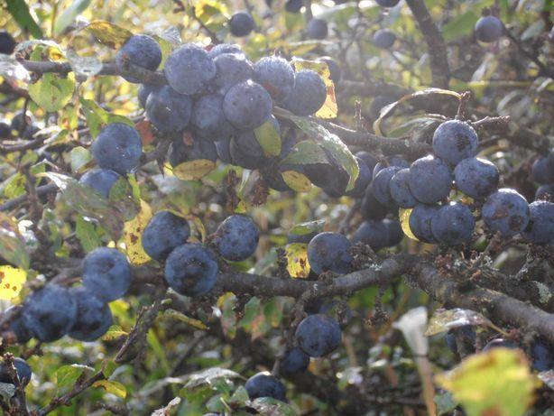 Tarnina- owoce świeże