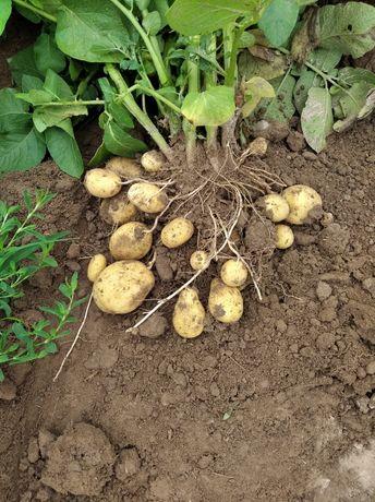 Sprzedam ziemniaki jadalne 1.50zł/1kg