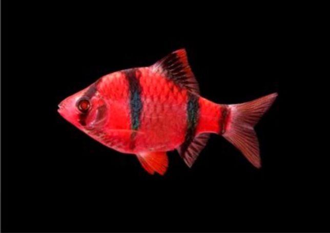 Аквариумная рыба собственного разведения. ОПТ