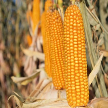 Kukurydza ziarno KWS Kwinns Z:220 K:230 50 tys nasion
