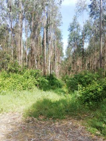Terreno de eucaliptos