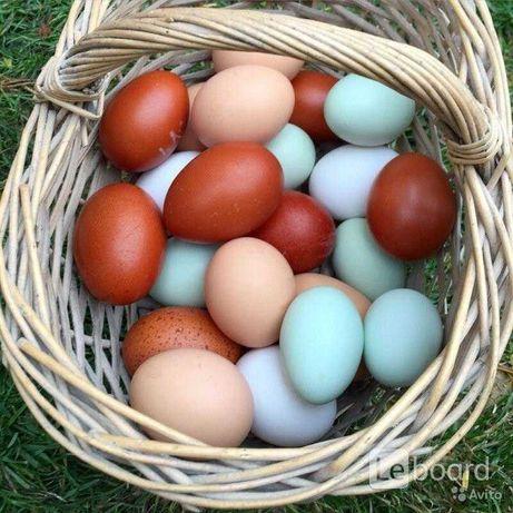 Инкубационное яйцо разных пород