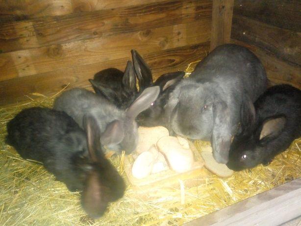 Młode króliki 70 dniowe