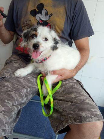 Cachorro com 3 meses, porte pequeno (pata curta) para adopção.